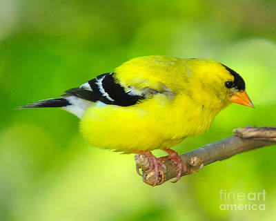 Poster featuring the photograph American Yellow Finch by Jack Moskovita