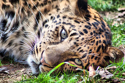 Poster featuring the photograph Amur Leopard by Lynne Jenkins