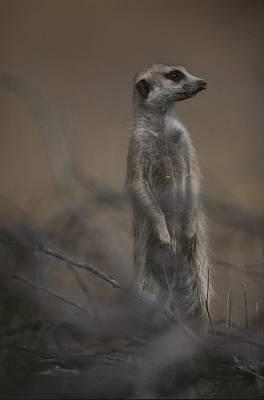 An Adult Meerkat Suricata Suricatta Poster by Mattias Klum