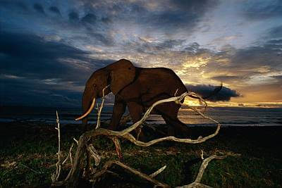 An African Forest Elephant  Walking Poster by Michael Nichols