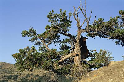 An American Black Bear Climbs A Tree Poster by Norbert Rosing