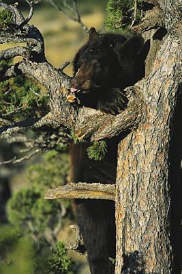 An American Black Bear Licks Ants Poster by Norbert Rosing