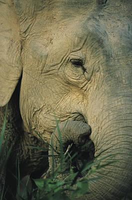 An Asian Elephant Brings A Trunkful Poster by Tim Laman