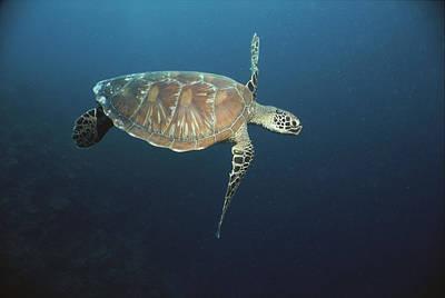 An Endangered Green Sea Turtle Swimming Poster by Tim Laman