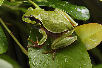 An Endangered Pine Barrens Treefrog Poster by George Grall