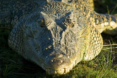 An Enormous Saltwater Crocodile Sun Poster
