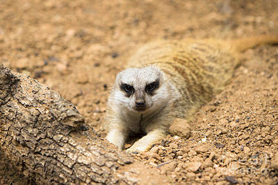 An Eye Contact With A Meerkat Poster