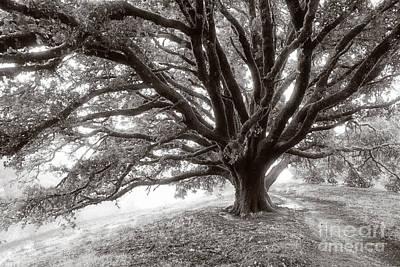Angelic Oak Poster