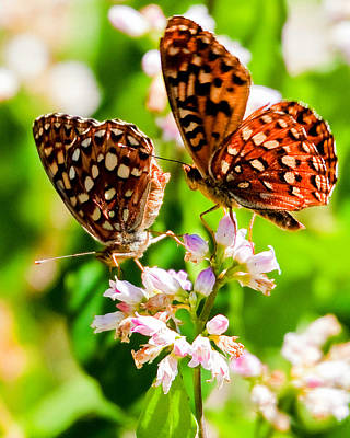 Anica Checkerspot On Dogbane Poster by Merle Ann Loman
