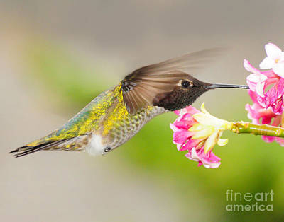 Poster featuring the photograph Anna Hummingbird by Jack Moskovita