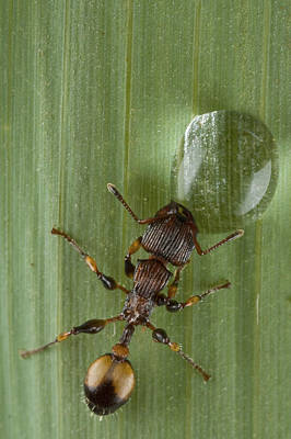 Ant Drinking From Water Droplet Papua Poster by Piotr Naskrecki