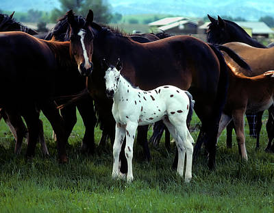 Appaloosa Foal White Spotted Poster