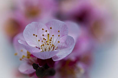 Apricot Flower Close Up Poster by Marc Garrido