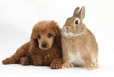 Apricot Miniature Poodle Pup With Rabbit Poster by Mark Taylor