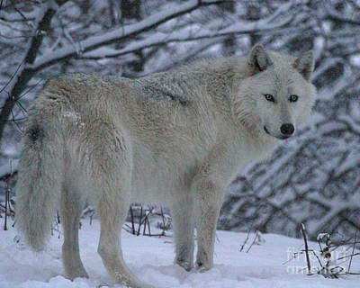 Arctic Wolf In Snowstorm Poster