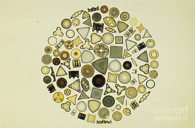 Arrangement Of Diatoms Poster by M. I. Walker