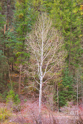 Aspen Tree Forest Road 249 Poster by Donna Greene