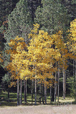 Aspens In Color Poster