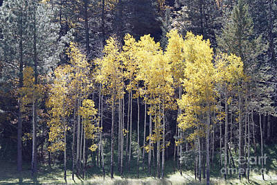 Aspens In Sunlight Poster