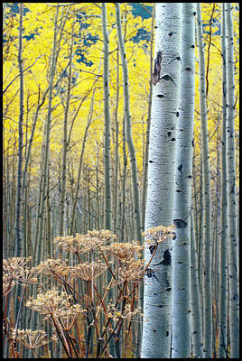 Aspens Independance Pass Poster by John McEvoy