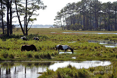 Poster featuring the photograph Assateague Wild Horses Feeding by Dan Friend