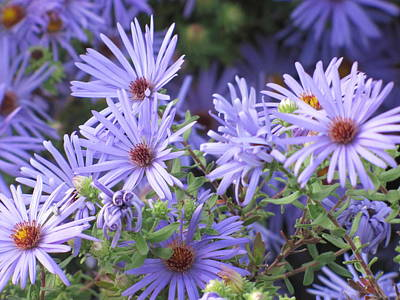 Asters And Sunshine Poster