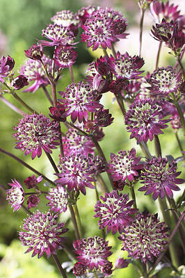 Astrantia Astrantia Sp Dark Shiny Eyes Poster by VisionsPictures