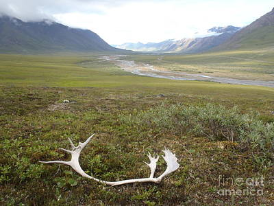 Atigun Valley Caribou Shed Poster by Adam Owen