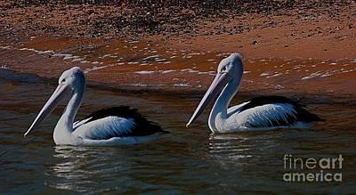 Australian Pelicans Poster