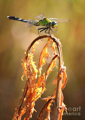 Autumn Dragonfly Poster