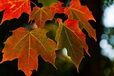 Autumn Glory Poster by Cheryl Baxter