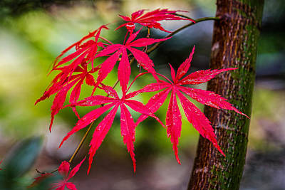 Poster featuring the photograph Autumn Japanese Maple by Ken Stanback