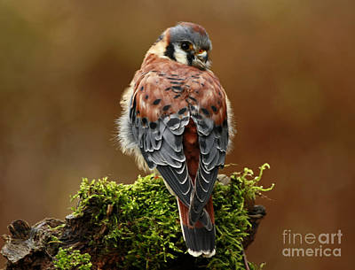 Autumn Rain American Kestrel Poster by Inspired Nature Photography Fine Art Photography