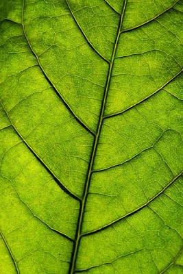 Avocado Leaf 1 Poster by Jessica Velasco