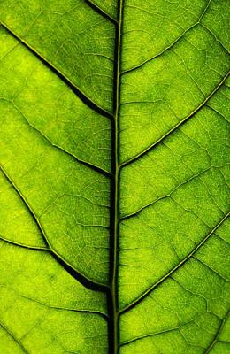 Avocado Leaf 2 Poster by Jessica Velasco