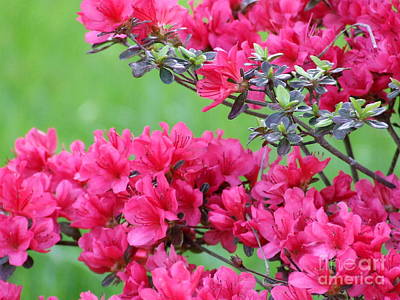 Poster featuring the photograph Azalea by Andrea Anderegg