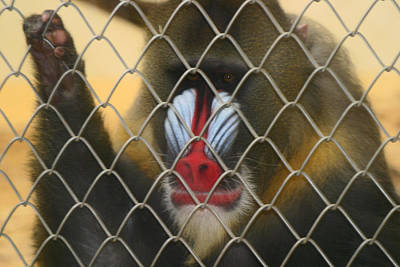 Poster featuring the photograph Baboon Behind Bars by Kym Backland