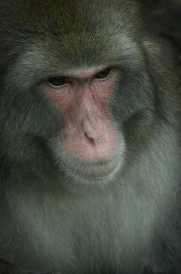 Poster featuring the photograph Baboon by Cindy Haggerty