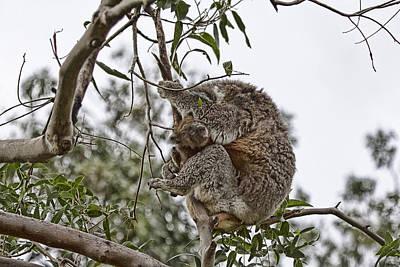 Baby Koala Poster