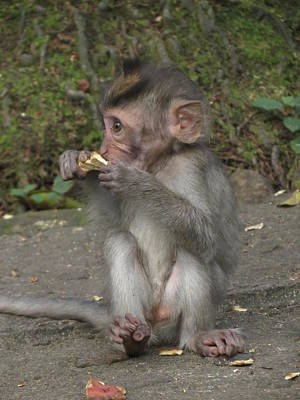 Baby Monkey Poster