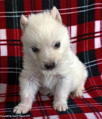 Baby Wolfdog Poster