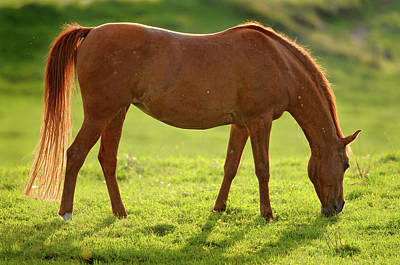 Backlight Brown Horse Poster