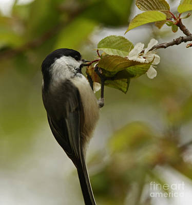 Balancing Act- Black Capped Chickadee On Flower Blossom Poster by Inspired Nature Photography Fine Art Photography