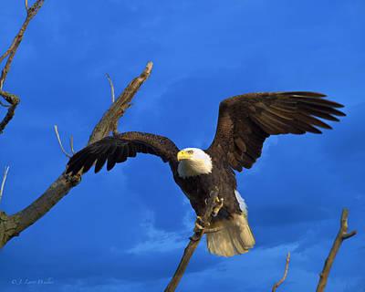 Bald Eagle Landing Poster by J Larry Walker