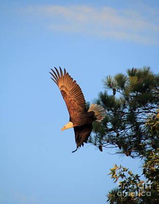 Bald Eagle Liftoff Poster