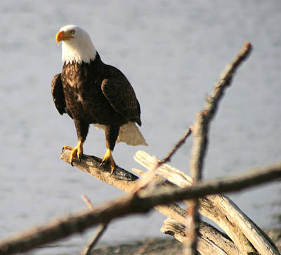 Bald Eagle On Driftwood Poster by Kym Backland