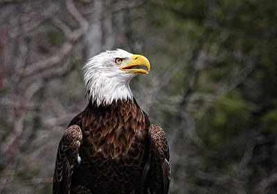 Bald Eagle Poster by Sandra Anderson