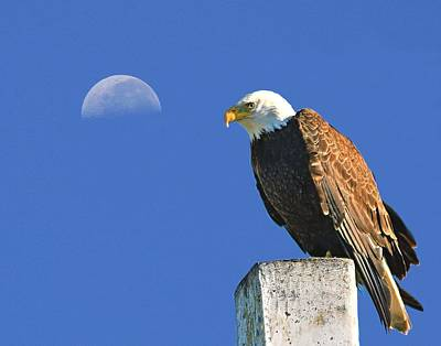 Bald Eagle With The Moon Poster