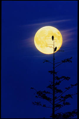 Bald Eagles Silhouetted Against A Full Moon Poster