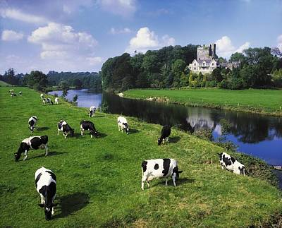 Ballyhooley, Co Cork, Ireland Friesian Poster by The Irish Image Collection
